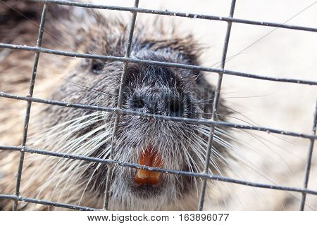 Nutria behind bars - Waiting for death
