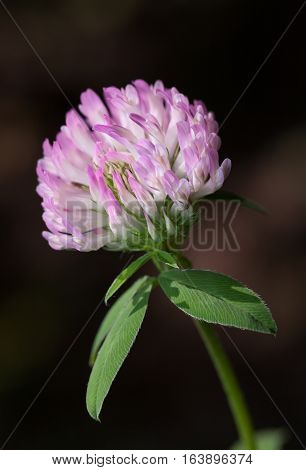 Macro of red clover or trefoil (Trifolium pratense) flower head at summer