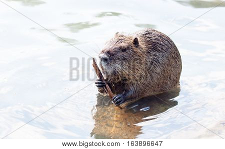 A nutria when eating water plants on a big tree trunk