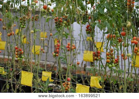 Safe Vegetable Farm, Da Lat Tomato Garden