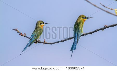 Blue-tailed bee-eater in Arugam bay lagoon, Sri Lanka ; specie Merops philippinus family of Meropidae