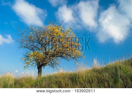 Lonely apricot tree on a hill against blue cloudy sky at autumnal time.