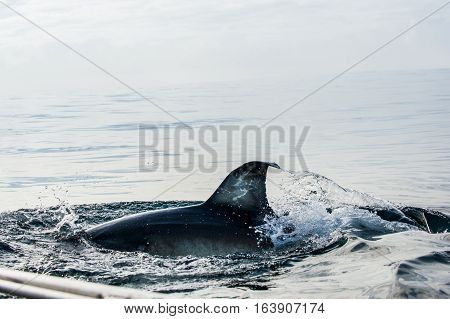 Shark Fin Above Water. Closeup Fin Great White Shark Underwater . Great White Shark (carcharodon Car