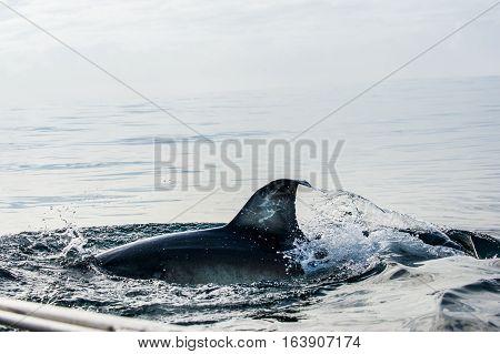 Shark Fin Above Water. Closeup Fin Great White Shark Underwater . Great White Shark (carcharodon Car