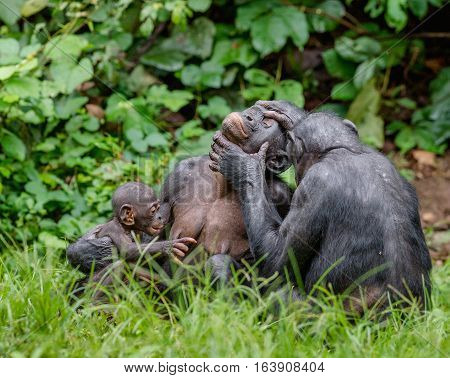 Bonobos in natural habitat on Green natural background. The Bonobo ( Pan paniscus) called the pygmy chimpanzee. Democratic Republic of Congo. Africa