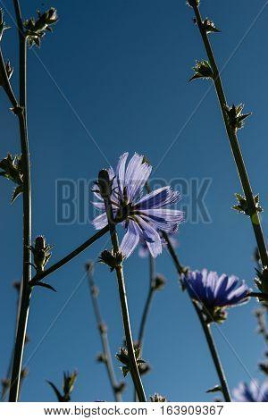 Blue cornflower against a sky background. Centaurea cyanus