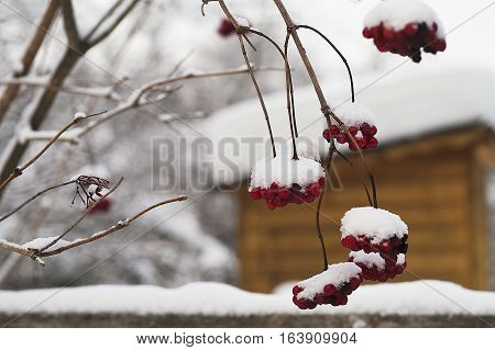 Red rowan berries covered with snow in the foreground a a house in the blurred background
