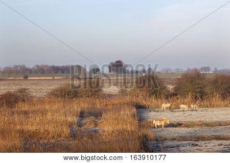 horses in wintry meadow in floodplains of river Lek near Vianen in the netherlands