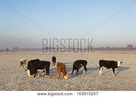 young cows in wintry meadow in floodplains of river Lek near Vianen in the netherlands and gerbrandy tower