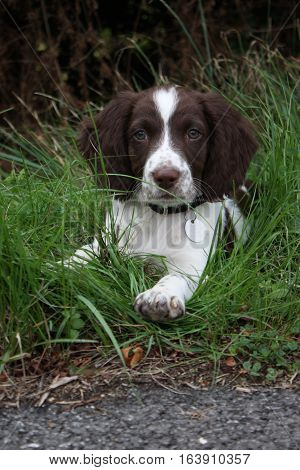 very cute liver and white working type english springer spaniel pet gundog puppy