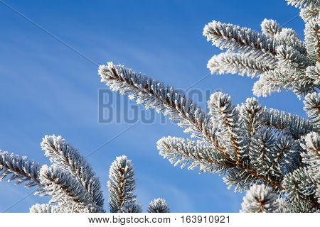 Spruce Branch With Frost On Blue Sky Background. Christmas Tree With Hoarfrost.