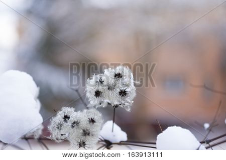 Closeup of a hairy Plant in Winter