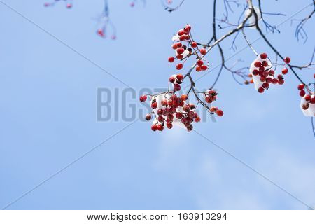 Closeup of Red Berries in Winter. Frozen Fruits