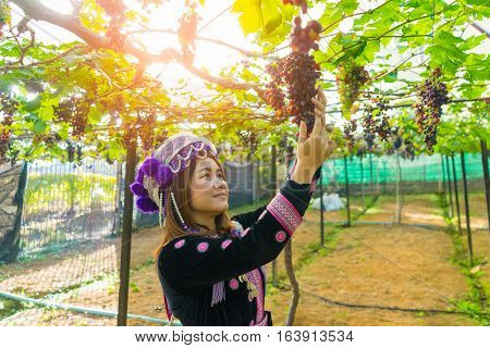 Grape harvesting in a vineyard in Mae Hong Son near Chiang Mai Thailand. Thai farmer woman Harvesting the grapes theme.