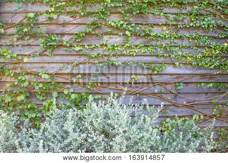 leaves Old wooden fence background plant and texture