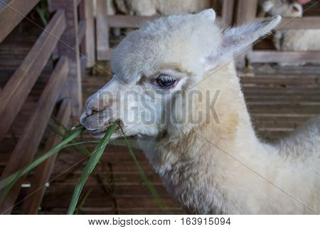 Alpaca stay in farm and alpaca eating grass.