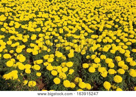 Marigold yellow flowers in the garden background