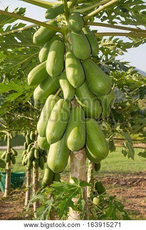 raw fresh green papaya on the tree.
