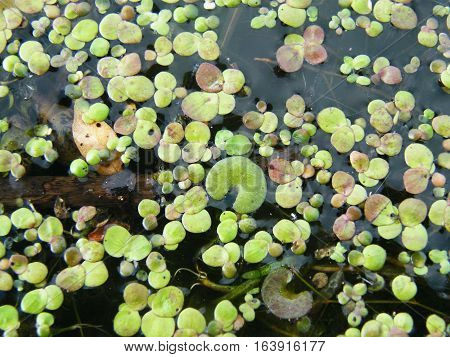 Duckweed flowers floating on the water surface.