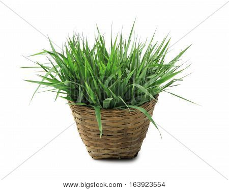 Fresh grass in basket isolated on white background