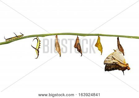 Isolated Transformation Of Common Map (cyrestis Thyodamas ) Butterfly  From Caterpillar