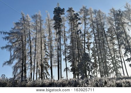 Frostbitten row of trees larch trees blue sky. Forest.
