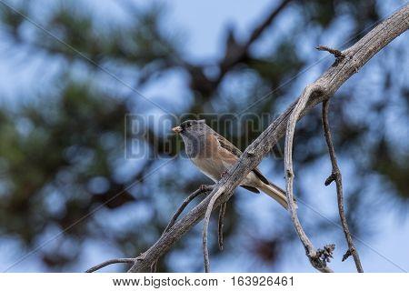a female western bluebird perched on a branch