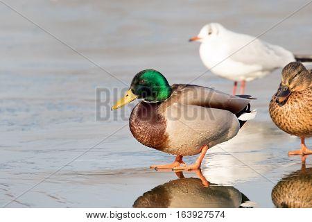 Close-up of a Wild Duck Bird Mallard Duck (Anas platyrhynchos)