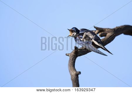 Close-up of a white-throated swallow sit on from wood perch (Hirundo albigularis)