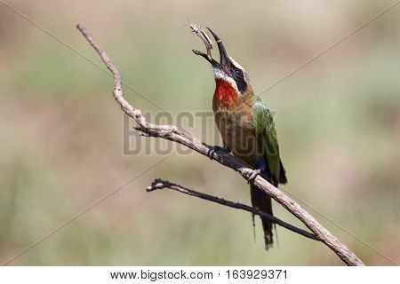 White fronted bee eater sitting on a branch to hunt for insects