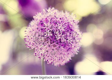 Close up of Purple Allium flower - vintage version