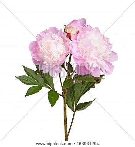 Stem leaves and flowers of a pink and white anemone-type peony against a white background
