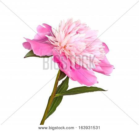 Stem leaves and flower of a pink and white anemone-type peony isolated against a white background