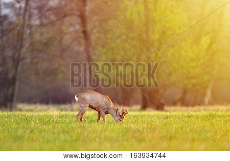 Wild roe deer, grazing in a field