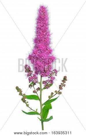 Astilbe flower isolated on the white background