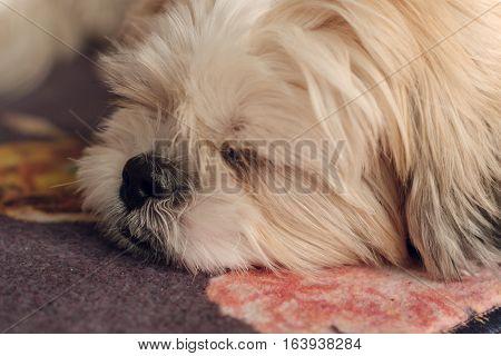 Close Up Of Cute White Shih Tzu Dog