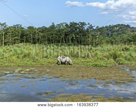 The Indian rhinoceros (Rhinoceros unicornis) at Chitwan National Park Nepal.