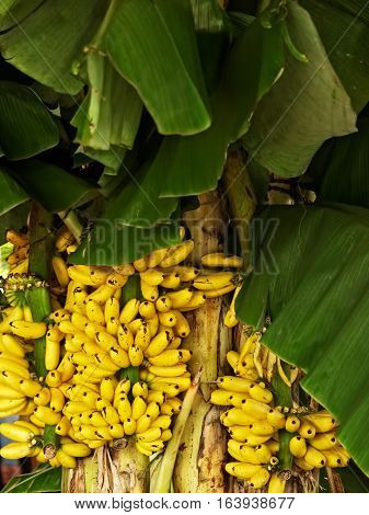 Banana with bunch of growing ripe yellow bananas plantation rain-forest background Thailand.