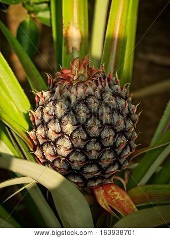 Pineapple. Ananas comorus. Bromeliaceae. Sappa-rot. Nanas. Pina.