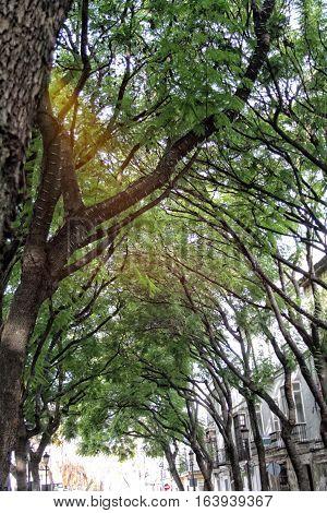 A TREE THAT BRINGS GOOD LUCK/ JACARANDA