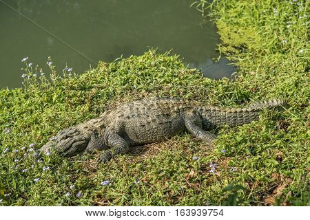 Crocodile on a river bank. Chitwan National Park. Nepal