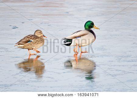 Close-up of a Wild Duck Birds Mallard Duck (Anas platyrhynchos)