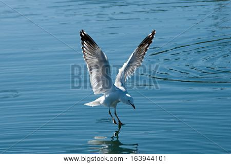 Flyig Seagulls close up in the process of landing in smooth water with reflections. Lake Macquarie New South Wales Australia