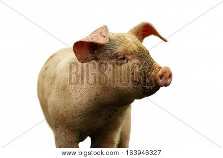 closeup of young domestic pig isolated over white background