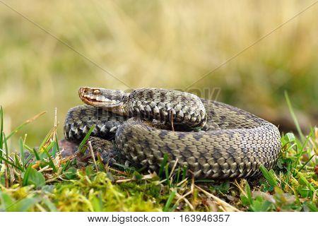 common european crossed viper basking on mountain meadow ( Vipera berus female )