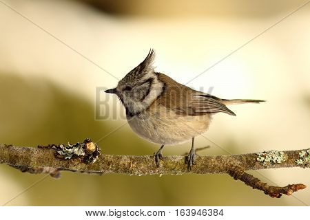 crested tit perched on small twig ( Lophophanes cristatus )