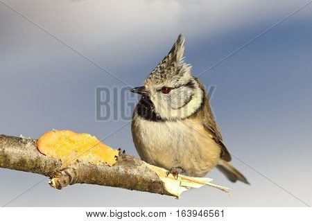european crested tit perched on a twig at lard feeder ( Lophophanes cristatus )