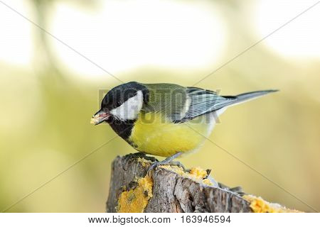great tit on wooden stump ( Parus major )