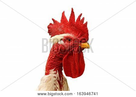 portrait of shaggy rooster isolated over white background