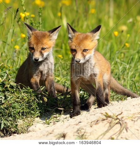 two young red fox brothers near the burrow ( Vulpes )